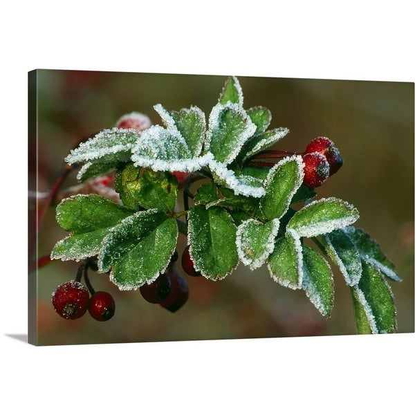 192e6a0d8555a Shop Premium Thick-Wrap Canvas entitled Frost On Multiflora Rose ...