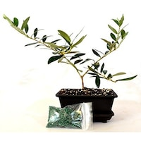 9greenbox Olive Tree Bonsai With Water Tray And Fertilizer