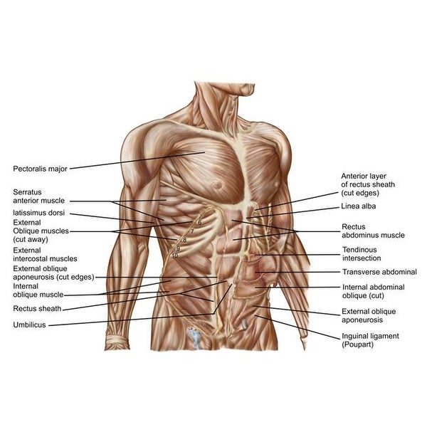 Shop Anatomy Of Human Abdominal Muscles Poster Print 34 X 23