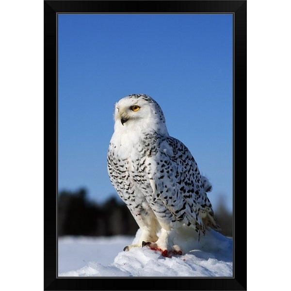 """Snowy owl (Nyctea scandiaca) on snow perch, profile."" Black Framed Print"
