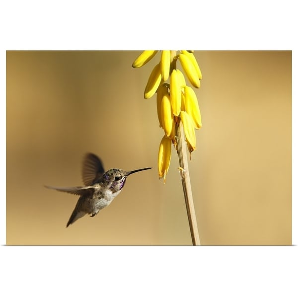 """""""Costa's Hummingbird as he approaches a stalk of desert yellow wildflowers."""" Poster Print"""