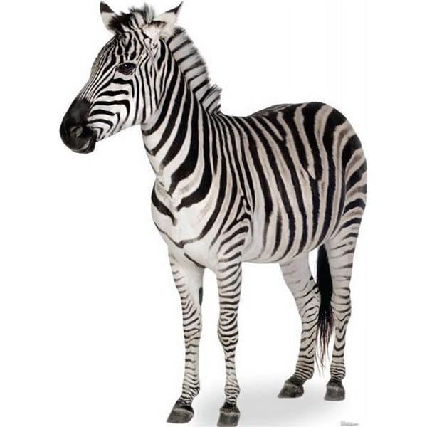Advanced Graphics 1479 Zebra