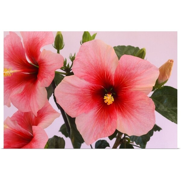 """""""Hibiscus flowers in shades of pink and red"""" Poster Print"""
