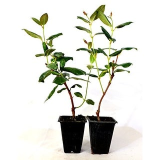 9GreenBox - Red Brazilian Jasmine - 2 Pack