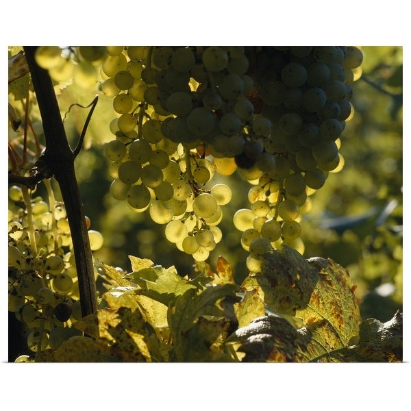 """Bunches of grapes hanging on vines"" Poster Print"