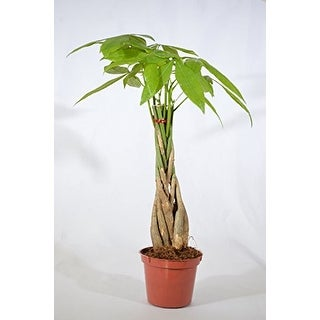 "9GreenBox - 5 Money Tree Plants Braided into 1 Tree -Pachira 4"" Pot"