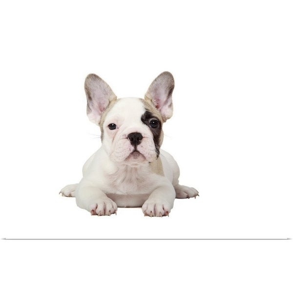 """""""Fawn Pied French Bulldog puppy on white background."""" Poster Print"""
