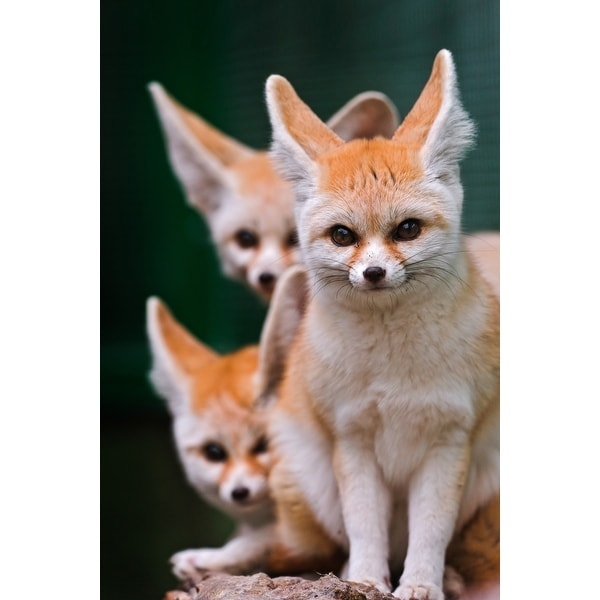 Fennec Foxes - LP Photography (Light Switchplate Cover)