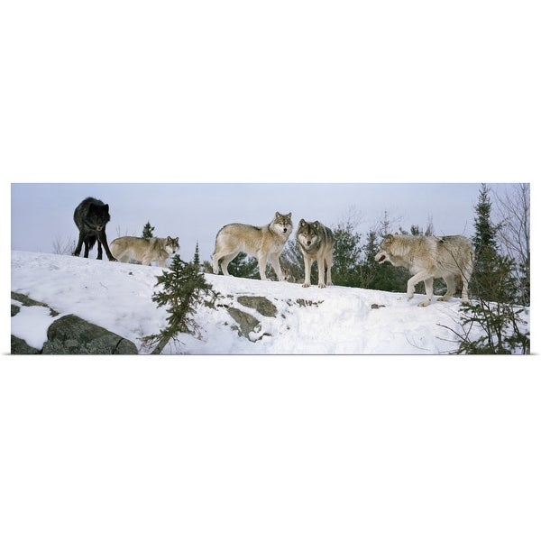 """""""Gray wolves (Canis lupus) in a forest, Massey, Ontario, Canada"""" Poster Print"""