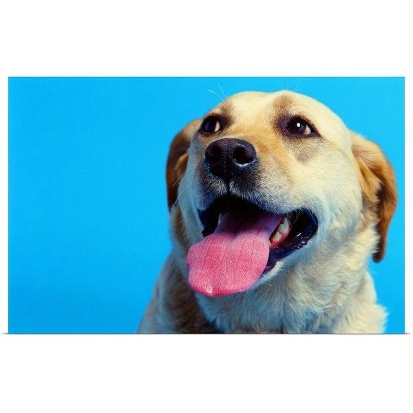 """""""close-up of a Labrador retriever"""" Poster Print"""