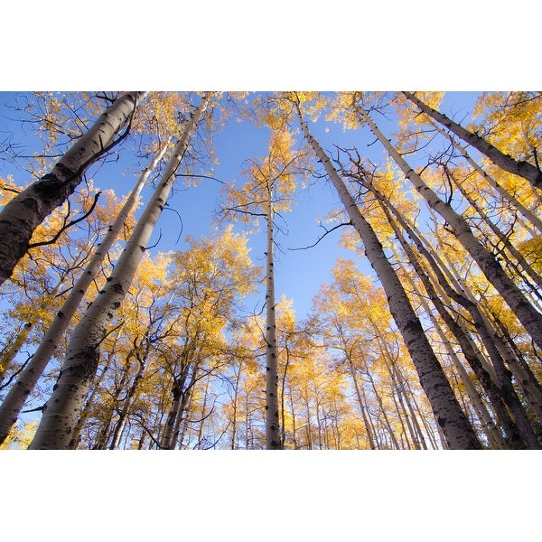 Yellow Birch Trees Canvas Wall Art Photograph