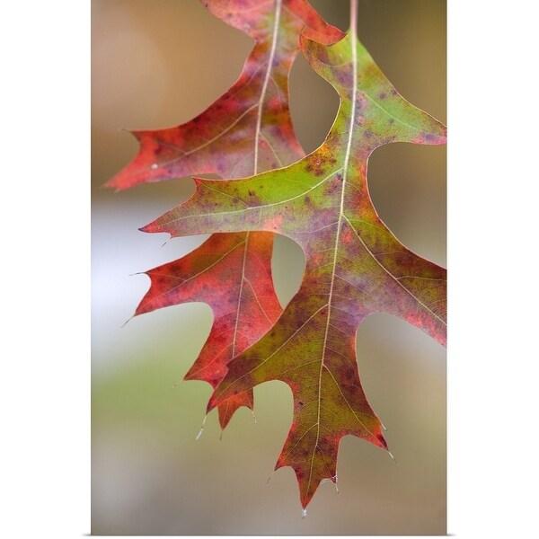"""Autumn Color Pin Oak Tree Leaves"" Poster Print"