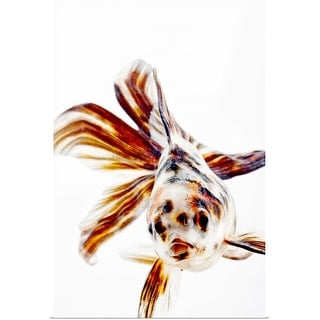 """Calico Fantail Comet goldfish (Carassius auratus) has long, fan-like fins."" Poster Print"
