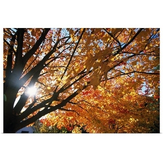 """Sunshine Through Autumn Color Tree"" Poster Print"