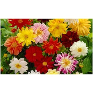 Dwarf Dahlias Pre-Seeded Flower Mat- 2 Pack with Garden Shovel