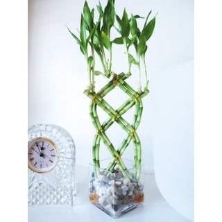 9GreenBox - Live 8 Braided Lucky 'Bamboo' Plant w/ Pebble & Vase