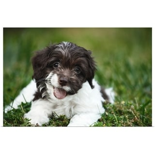 """""""Cockapoo Puppy laying in the grass"""" Poster Print"""