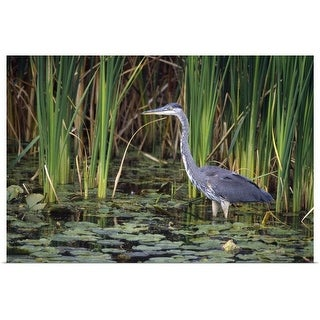 """Great blue heron"" Poster Print"