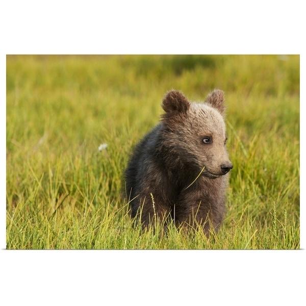 """Brown bear cub, Alaska"" Poster Print"