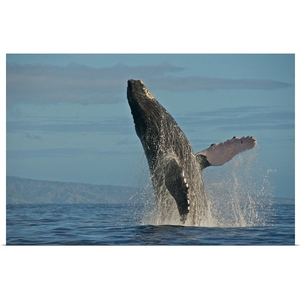 """Humpback Whale Breach"" Poster Print"