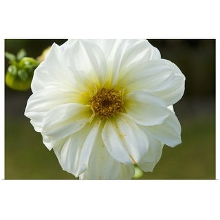 """White dahlia flower"" Poster Print"