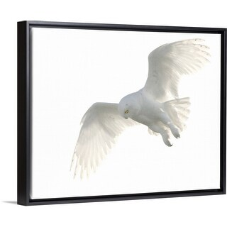 """Wild male snowy owl flying against white sky background, Payton, Colorado."" Black Float Frame Canvas Art"