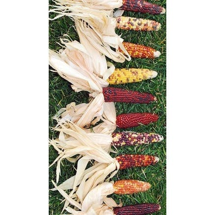 Decorative Natural Mini Indian Corn -- Case of 300