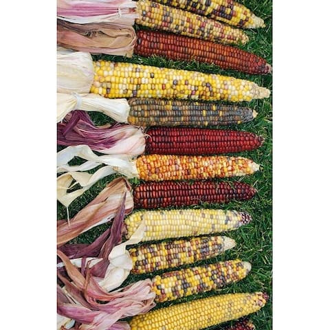 Decorative Indian Corn - Large -- Case of 50 - Grade A, Extra Long - Natural
