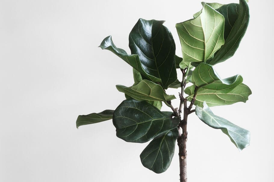 Large fiddle leaf tree against a plain background